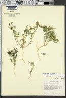 Astragalus emoryanus image