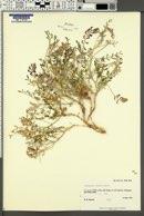 Astragalus fucatus image