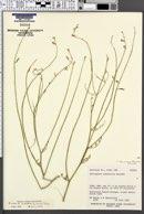 Astragalus harrisonii image