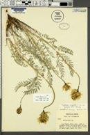 Astragalus hoodianus image