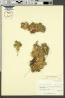 Astragalus kentrophyta var. coloradoensis image