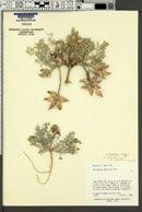 Astragalus laccoliticus image