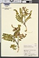 Astragalus malacoides image