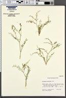 Image of Astragalus mulfordiae