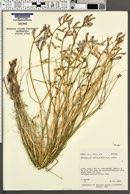 Astragalus rafaelensis image