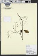 Image of Boerhavia repens