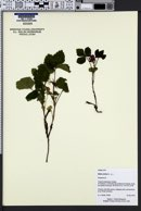 Image of Rubus arcticus