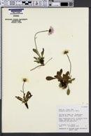 Image of Erigeron garrettii