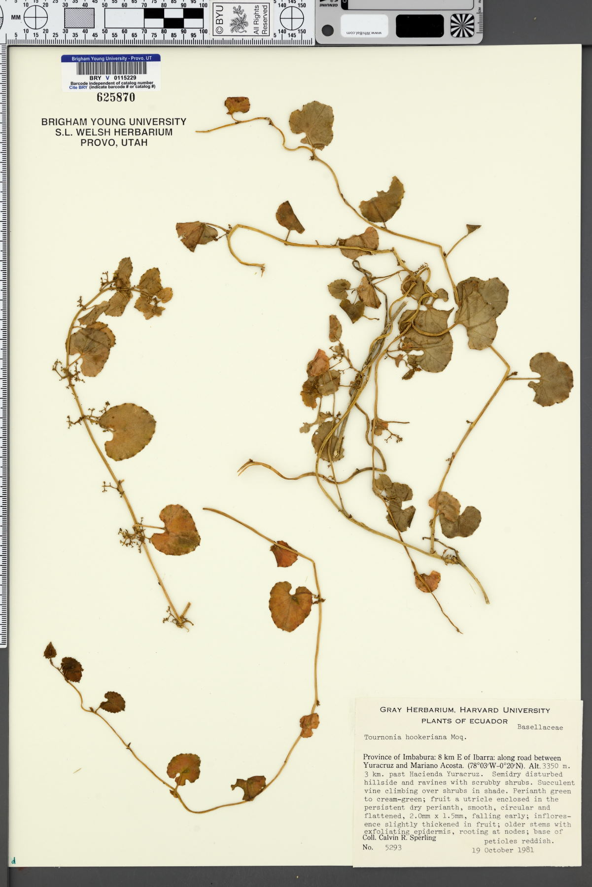Tournonia hookeriana image