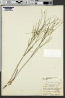 Astragalus convallarius var. convallarius image