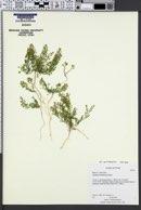 Lepidium densiflorum var. pubicarpum image