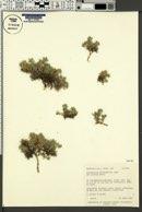 Astragalus kentrophyta var. elatus image