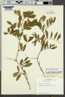 Lathyrus lanszwertii image