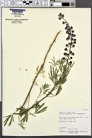 Lupinus argenteus subsp. moabensis image