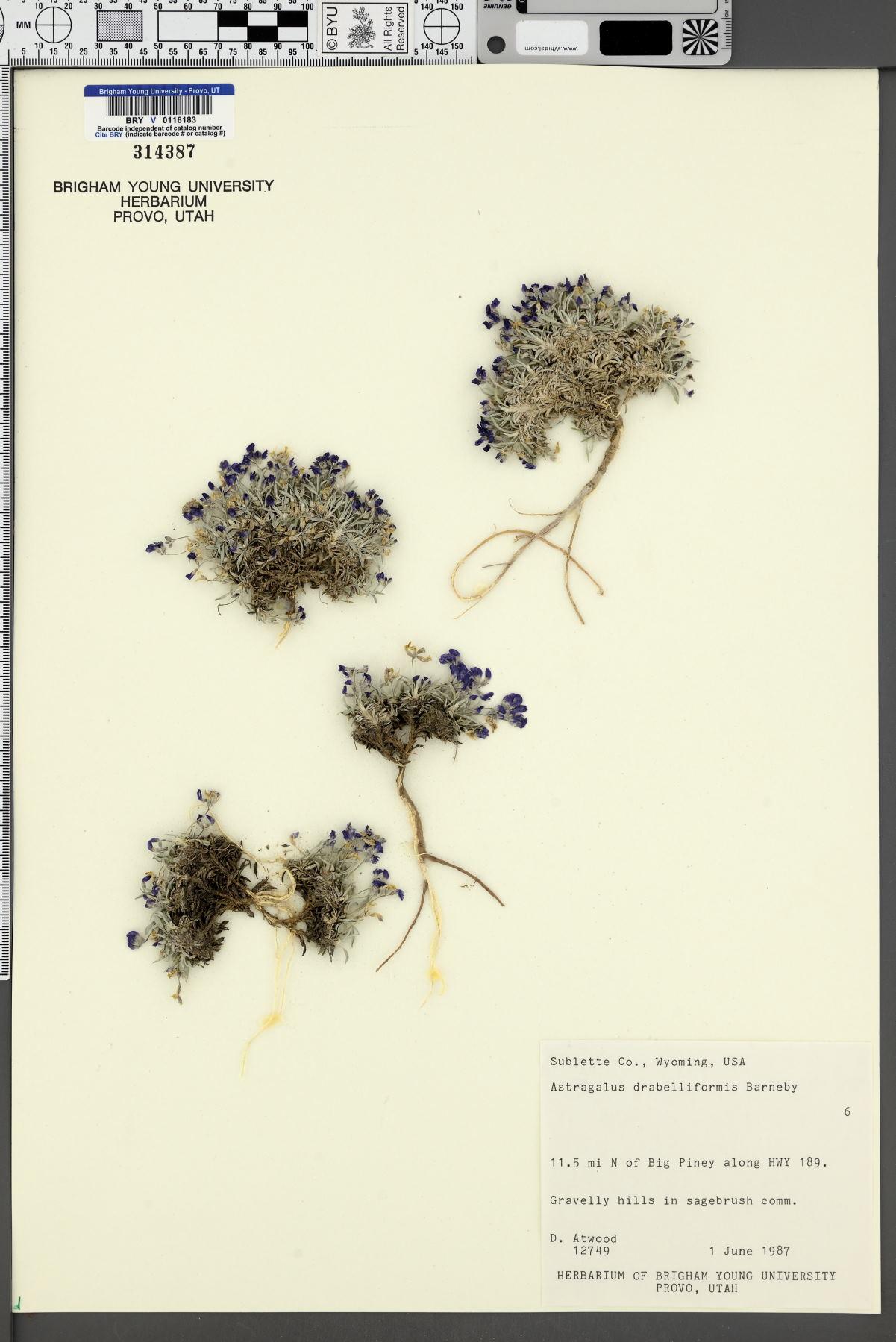 Astragalus drabelliformis image