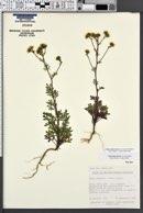 Amauriopsis dissecta image