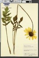 Balsamorhiza macrophylla image