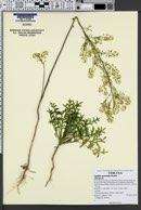 Lepidium eastwoodiae image