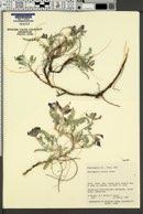 Astragalus zionis image