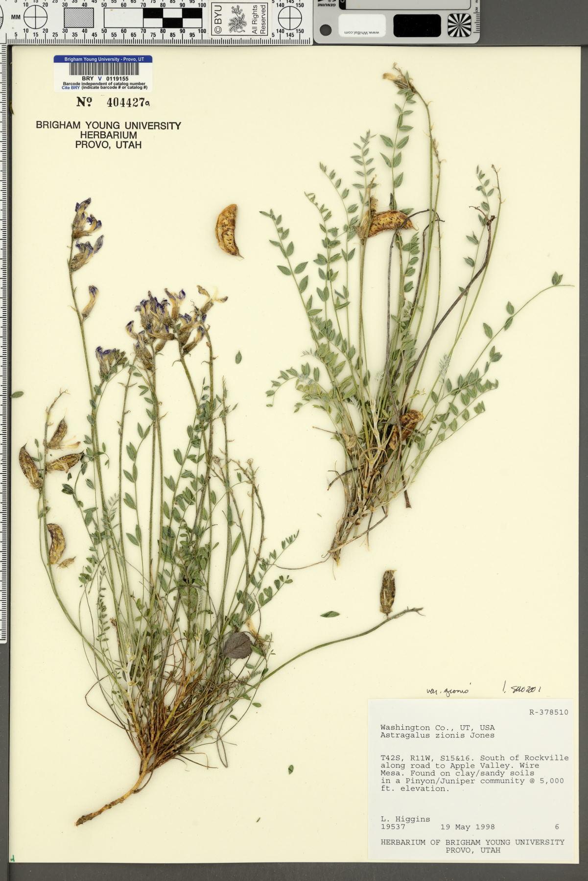 Astragalus zionis var. zionis image