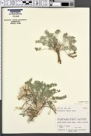 Astragalus newberryi var. castoreus image