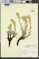 Image of Oreocarya nitida