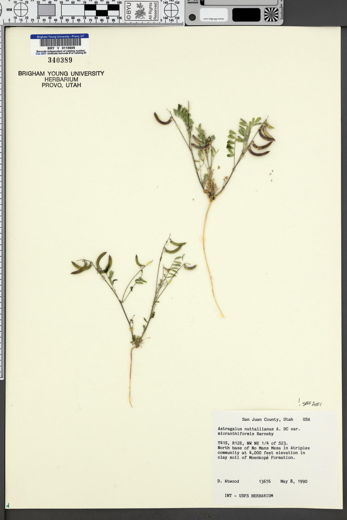 Astragalus nuttallianus var. micranthiformis image