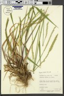 Elymus repens image