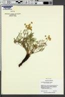 Image of Lomatium packardiae