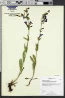 Penstemon leiophyllus var. leiophyllus image