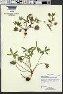 Pediomelum hypogaeum var. scaposum image