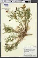 Astragalus praelongus var. ellisiae image