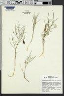 Astragalus ceramicus var. ceramicus image