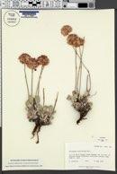 Eriogonum ovalifolium var. purpureum image