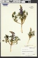 Lupinus pusillus subsp. pusillus image