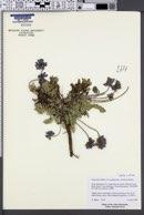 Oxytropis deflexa var. pulcherrima image