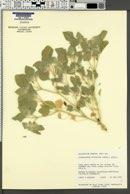 Image of Croton setiger
