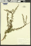 Prunus fasciculata image