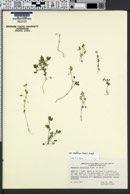 Nemophila parviflora image