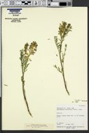 Astragalus bisulcatus var. major image