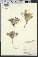 Astragalus amphioxys var. modestus image