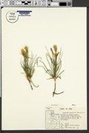 Lygodesmia grandiflora image