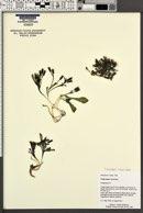 Crepis nana image