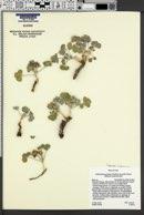Image of Pediomelum pariense