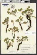 Pediomelum pariense image