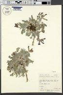 Astragalus utahensis image