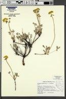 Eriogonum umbellatum var. nevadense image