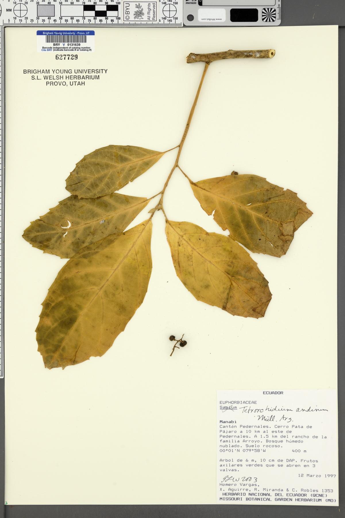 Tetrorchidium andinum image