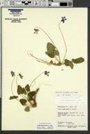Viola clauseniana image