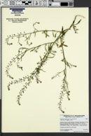 Lepidium virginicum var. virginicum image